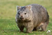 Avatar - Woombat